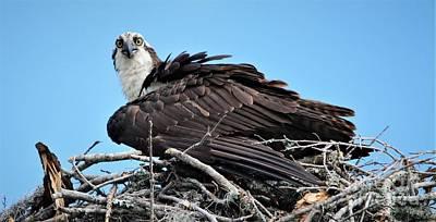 Photograph - Beautiful Osprey by Paulette Thomas