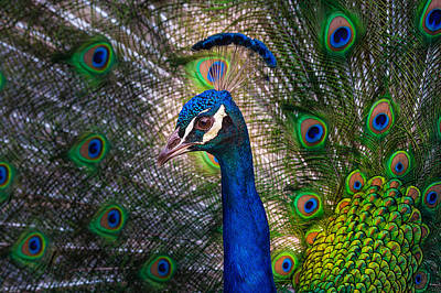 Photograph - Beautiful Peacock by Harry Spitz