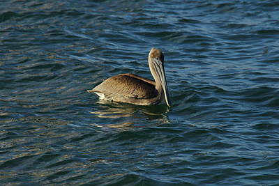 Photograph - Beautiful Pelican by Denise Mazzocco