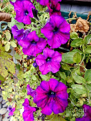 Photograph - Beautiful Petunia  by Erika H