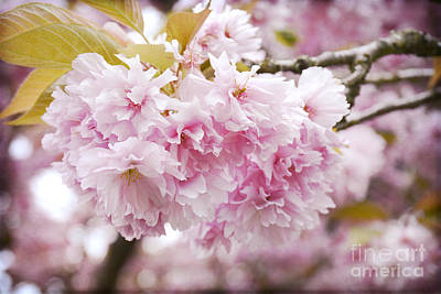 Photograph - Beautiful Pink Blossoms by Maria Janicki