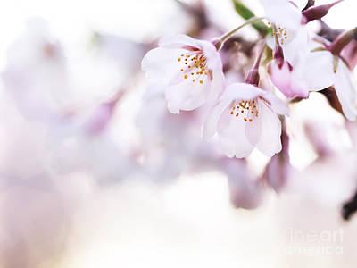 Sakura Photograph - Beautiful Pink Cherry Blossom by Oleksiy Maksymenko
