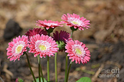 Photograph - Beautiful Pink Daisies  by Ruth Housley