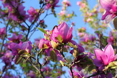 Flowers Mixed Media - Beautiful Pink Magnolia Blossoms by Georgiana Romanovna