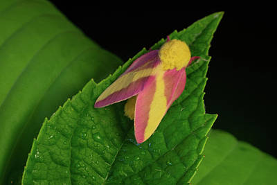 Photograph - Beautiful Pink Moth On Pointed Leaf by Douglas Barnett
