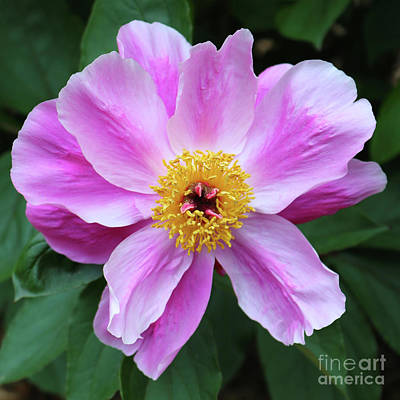 Photograph - Beautiful Pink Peony by Carol Groenen