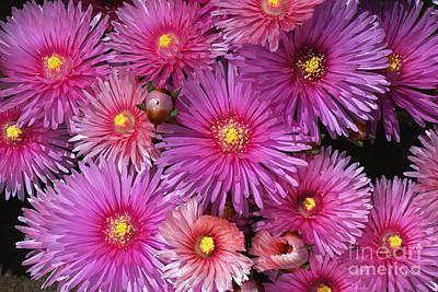 Photograph - Beautiful Pink Pigface Flowers Of Spring by Joy Watson