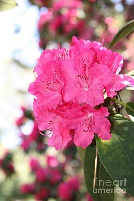 Beautiful Pink Rhododendron Art Print