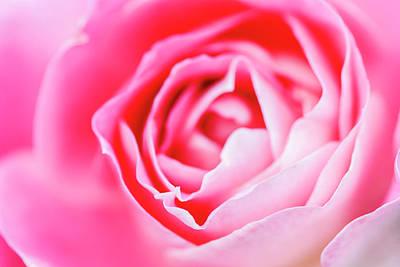Beautiful Pink Rose Closeup Art Print by Vishwanath Bhat