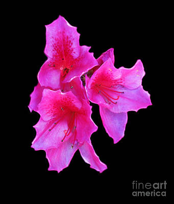 Photograph - Beautiful Pink by Steven Parker