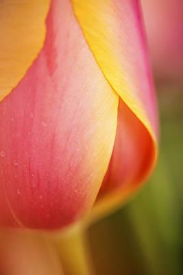 Beautiful Pink And Yellow Tulip Closeup Art Print