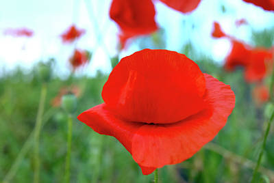 Red Photograph - Beautiful Poppy by Nat Air Craft