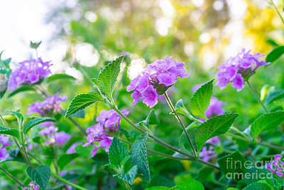 Photograph - Beautiful Purple Flowers On The Bush by Anna Om
