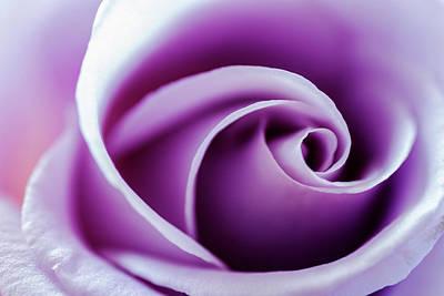 Photograph - Beautiful Purple Rose Closeup by Vishwanath Bhat