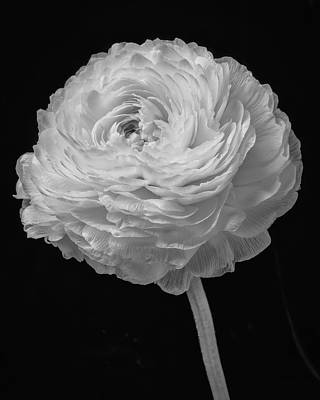 White Ranunculus Flower Photograph - Beautiful Ranunculius In Black And White by Garry Gay