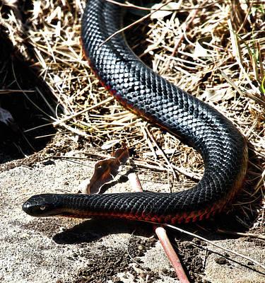 Photograph - Beautiful Red-bellied Black Snake  by Miroslava Jurcik
