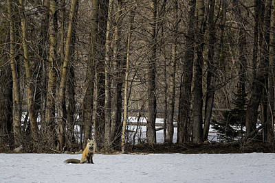 Photograph - Beautiful Red Fox - No. 2 by Belinda Greb