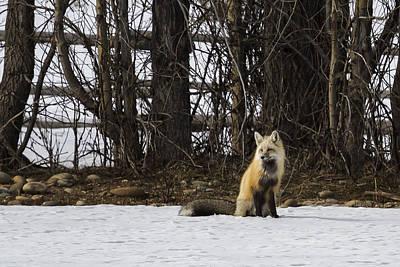Photograph - Beautiful Red Fox - No. 4 by Belinda Greb