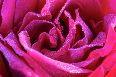 Photograph - Beautiful Red Rose With Dew Drops by Vishwanath Bhat