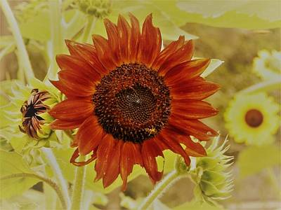 Photograph - Beautiful Red Skyscraper Sunflower by Belinda Lee