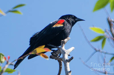 Photograph - Beautiful Red Winged Blackbird by Vincent Billotto