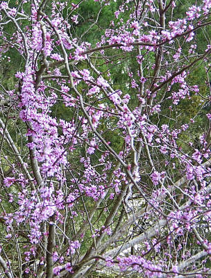 Photograph - Beautiful Redbud Tree by D Hackett