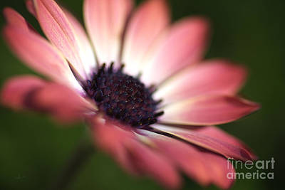 Photograph - Beautiful Rich African Daisy Zion Red Flower by Joy Watson