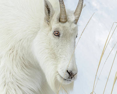 Photograph - Beautiful Rocky Mountain Goat by Yeates Photography