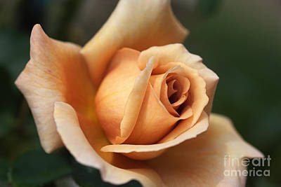 Photograph - Beautiful Rose In Orange And Coffee by Joy Watson