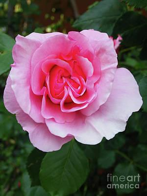 Photograph - Beautiful Rose by Jasna Dragun