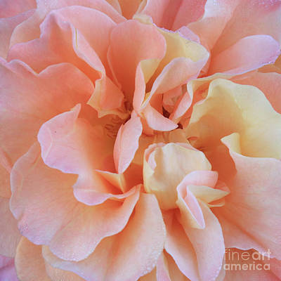 Beautiful Rose Petals Macro Art Print by Carol Groenen