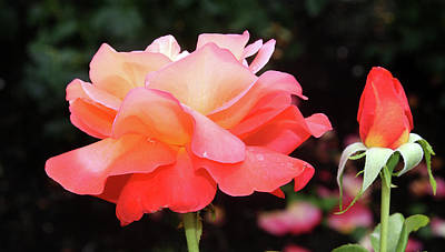 Photograph - Beautiful Rose With Bud by Ellen Tully