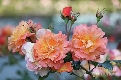 Beautiful Roses  Art Print by Carol Groenen