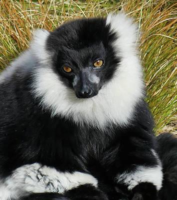Photograph - Beautiful Ruff - Black And White Ruffed Lemur by Margaret Saheed