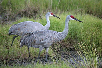Recently Sold - Animals Royalty-Free and Rights-Managed Images - Beautiful Sandhill Crane Pair in Marsh by Carol Groenen