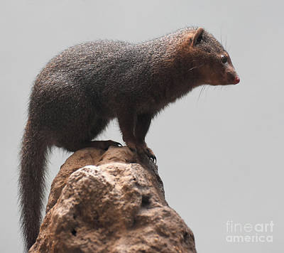 Photograph - Beautiful Scenic Image Of A Brown Dwarf Mongoose by DejaVu Designs