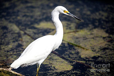 Photograph - Beautiful Snowy Egret by David Millenheft