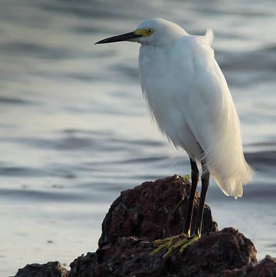 Photograph - Beautiful Snowy Egret by Patricia Twardzik