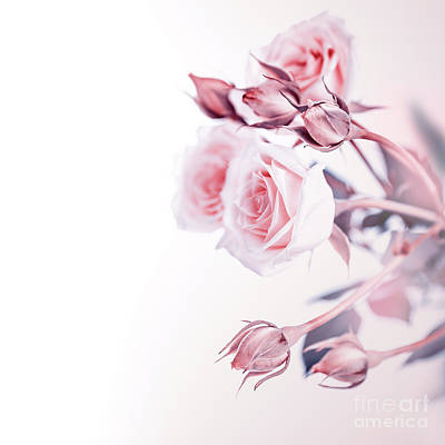 Photograph - Beautiful Soft Roses by Anna Om
