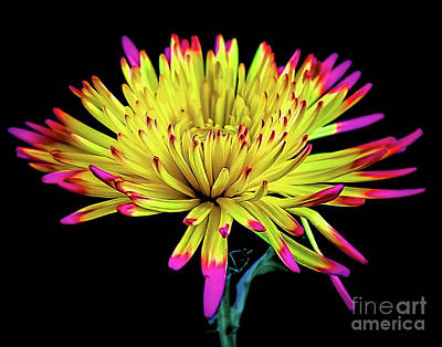 Photograph - Beautiful Spider Mum 18-31 by Ray Shrewsberry