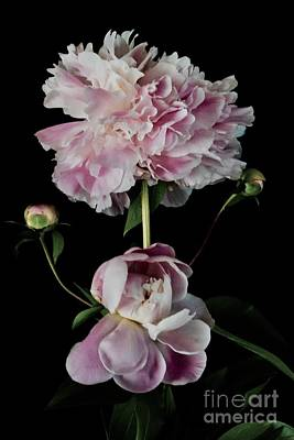 Photograph - Blooming Spring Peonies by Jeannie Rhode