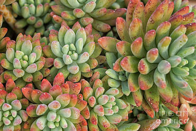 Photograph - Beautiful Succulent by Patricia Hofmeester