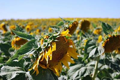Photograph - Beautiful Sunflower Field View  by Matt Harang