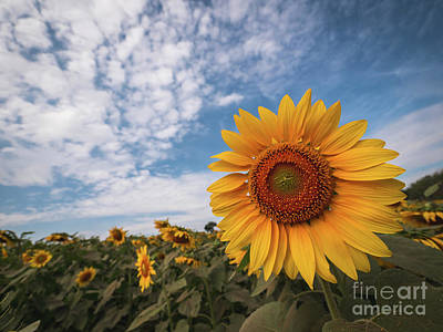 Art Print featuring the photograph Beautiful Sunflower Plant In The Field, Thailand. by Tosporn Preede