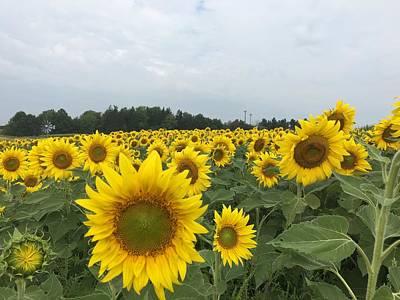 Photograph - Beautiful Sunflowers by Heidi Moss