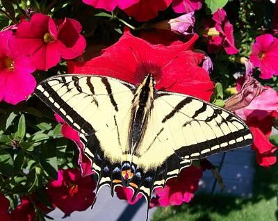 Photograph - Beautiful Swallowtail by Sharon Duguay