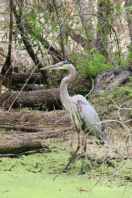 Photograph - Beautiful Swamp Heron by Carol Groenen