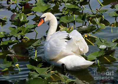 Beautiful Swan In The Lilies Print by Carol Groenen