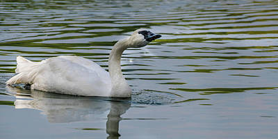 Photograph - Beautiful Swans On The Pond by Yeates Photography