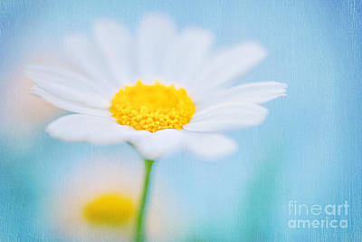 Photograph - Beautiful Textured Background Of A Daisy Flower by Anna Om